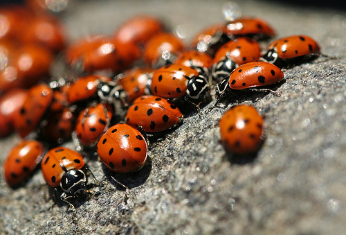 Ladybugs by Sharon Mollerus