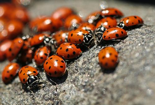 Ladybugs by Sharon Mollerus