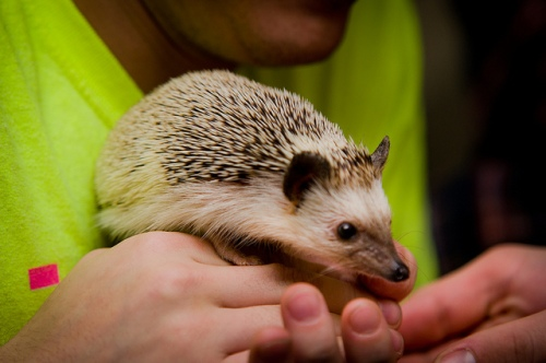 Hedgehog photo by Steve Sarkisian via Flickr