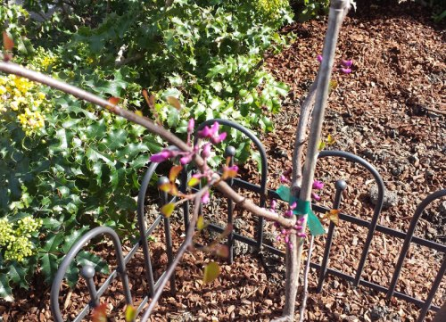 California redbud sapling at Montclair Library