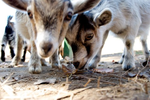 Baby goats by SP Photography via Flickr